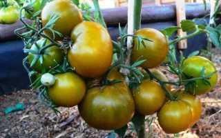 Томат Болото: характеристика и описание сорта, урожайность и отзывы фото кто сажал