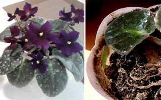 10 средств от ложной мучнистой росы на комнатных растениях