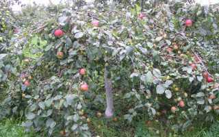 Карликовые сорта яблони для Урала: какие лучше сажать, описание с фото