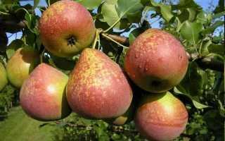 Груша Мраморная: описание и характеристики сорта, опылители и выращивание