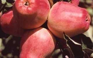 Яблоня Мамины стаканчики: описание сорта, характеристики, достоинства и недостатки с фото