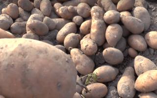 Картофель Каменский: характеристика и описание сорта, выращивание и уход с фото