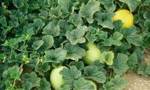 Почему желтеют листья у дыни в открытом грунте и как ее лечить