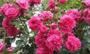 Плетистая роза Лагуна: описание и характеристики сорта, выращивание и размножение