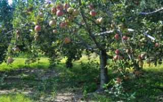Яблоня Мечта: описание сорта и характеристики, посадка, выращивание и уход