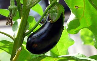 Баклажаны: польза и вред для здоровья организма человека