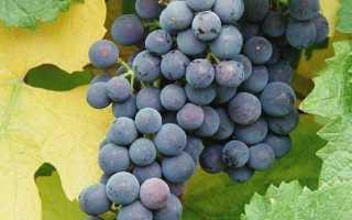 Виноград Альфа: описание и характеристики сорта, урожайность и выращивание