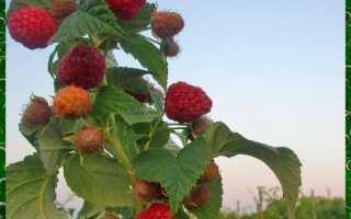 Сорт малины Брусвяна – описание сорта, правила посадки и ухода
