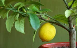 Домашние лимоны: посадка и уход в домашних условиях, как поливать и удобрять