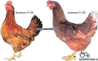 Куры Доминант: описание и характеристики 14 подвидов породы, условия содержания