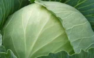 Капуста Зимовка: описание и характеристика сорта, выращивание с фото