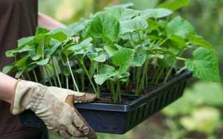 Уход за кабачками в теплице: как правильно выращивать с видео
