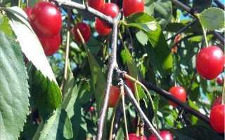 Вишня Аморель розовая: описание и характеристики сорта, выращивание и уход с фото