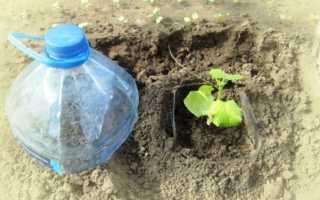 Посадка огурцов в 5 литровых бутылках: как выращивать с видео