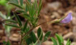 Как растет чечевица: технология выращивания и возделывания, урожайность с 1 га с видео