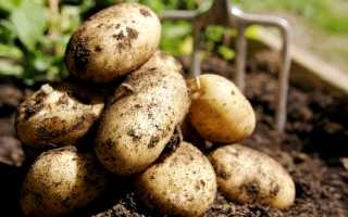 Выращивание картофеля по Миттлайдеру: как сажать, плюсы и недостатки метода