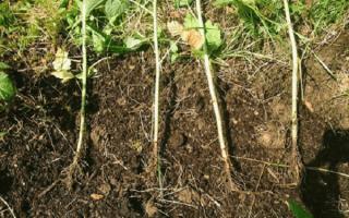 Когда посадить малину – осень или весну: лучшие условия и агротехника