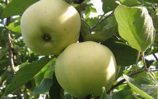 Яблоня Папировка: описание и характеристики сорта, преимущества и недостатки, выращивание