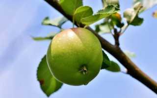Сломался саженец яблони: что делать и как спасти дерево с фото и видео