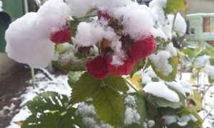 Как размножить малину ремонтантную: сроки заготовки черенков, способы и советы садоводам