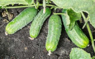Огурец Спино: характеристика и описание сорта, урожайность с фото