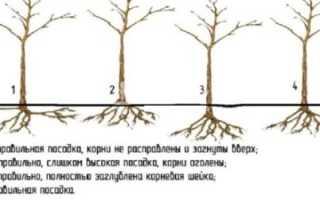 Краткая характеристика сорта абрикоса Царский