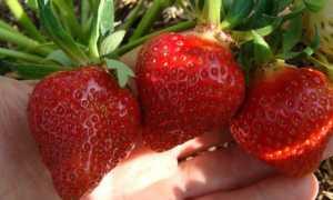 Клубника Эвис Делайт: описание и характеристики сорта, тонкости выращивания