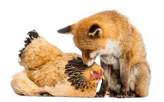 Порода кур Фокси Чик: описание и характеристика, правила содержания, частые болезни