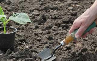 Высадка рассады огурцов в открытый грунт: как и когда сажать