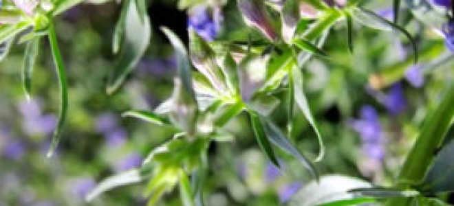 Розмарин: выращивание в открытом грунте в Подмосковье