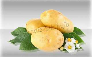 Картофель Зекура: описание и характеристика сорта, урожайность с фото