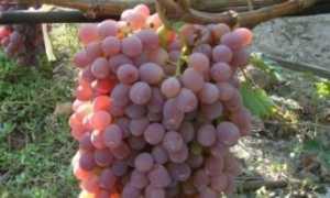 Виноград Тайфи: описание розового и белого сорта, урожайность и выращивание с фото