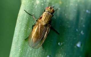 Луковая муха: как с ней бороться народными и химическими средствами?