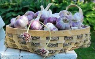 Чеснок Башкирский 85: описание сорта, выращивание и урожайность с фото