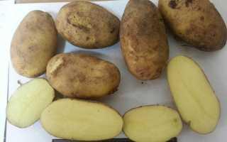Картофель Зорачка: описание и характеристика сорта, урожайность с фото