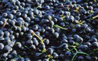 Виноград Красень: описание и характеристики сорта, история селекции и выращивание