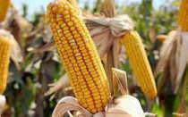 Кукуруза фуражная кормовая: лучшие сорта, как отличить от пищевой