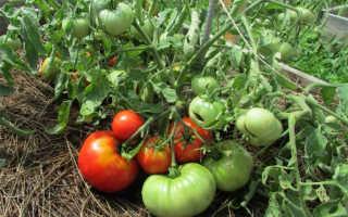 Томат Монгольский Карлик: характеристика и описание сорта, урожайность с фото