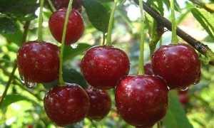 Вишня Булатниковская: описание и характеристики сорта, выращивание и уход