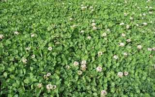 Клеверный газон: выбор сорта, когда сеять, как выращивать