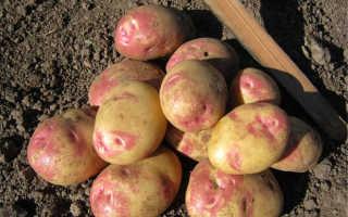 Картофель Пикассо: описание и характеристика сорта, выращивание с фото