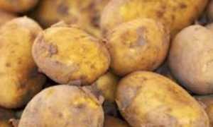 Картофель Вектор: характеристика и описание сорта, урожайность с фото