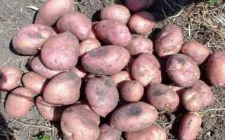 Картофель Романо: описание и характеристика сорта, урожайность с фото