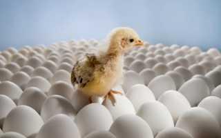 Хранение инкубационного яйца до закладки в инкубатор: технология, требования к помещению, сроки