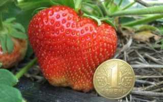 Клубника Чамора Туруси: описание и сорта, посадка, выращивание и уход с фото