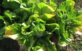 Почему желтеют листья у капусты: что делать и как с этим бороться