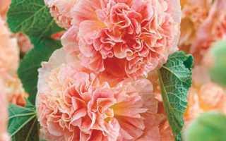 Шток-роза: лучшие сорта, посадка, выращивание и уход в открытом грунте с фото
