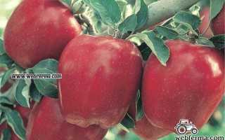 Яблоки Ред Делишес: описание и характеристики сорта, выращивание и уход