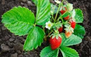 Подкормка клубники: чем удобрять во время цветения и плодоношения