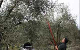 Как собирают оливки: правила сбора урожая, хранение и использование
